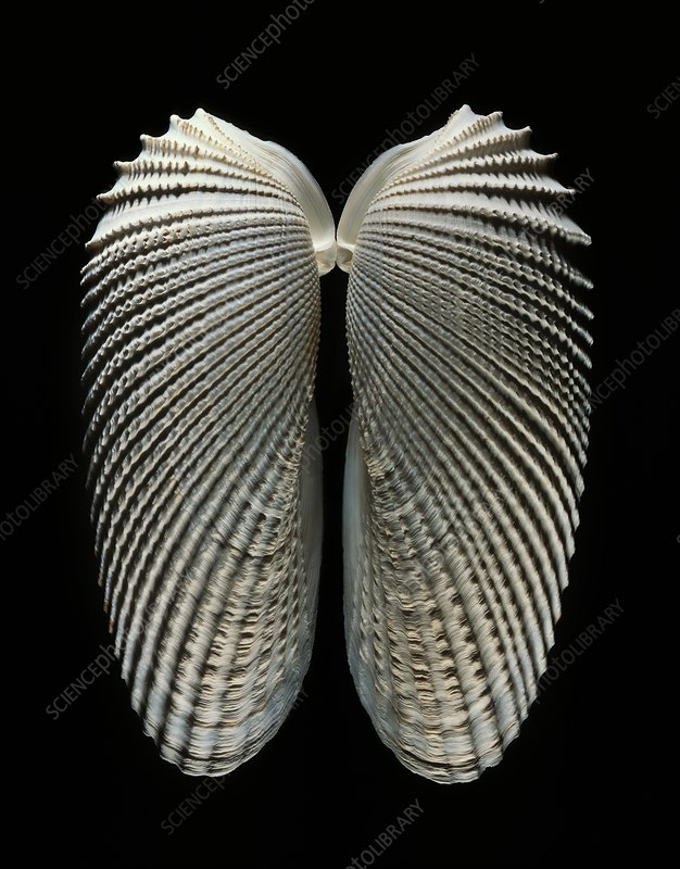 Angelwing clam shell