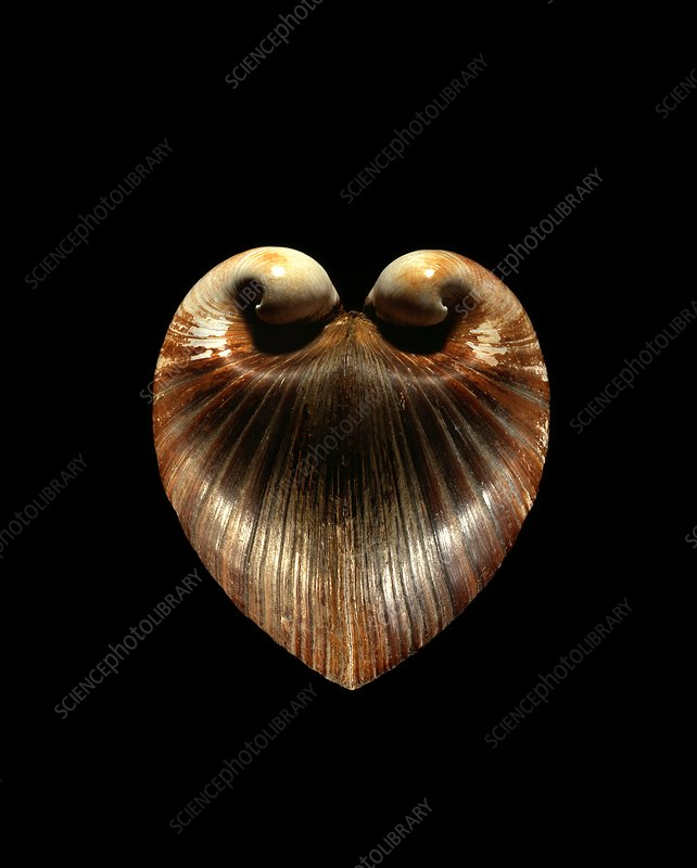 Oxheart clam shell
