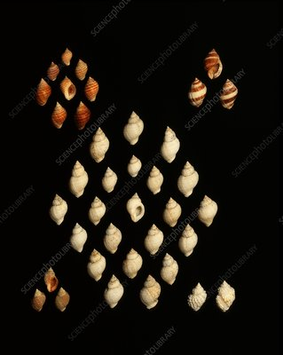 Dog whelk shells