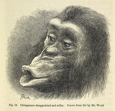 Chimpanzee disappointed and sulky