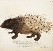 Long tailed Porcupine from Sumatra