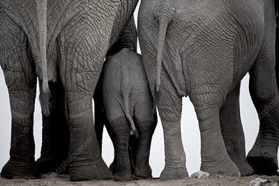 African elephants at a water-hole.