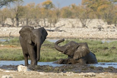 Juvenile African elephants at play
