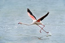 Greater Flamingo taking flight