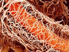 Blood vessels supplying a testis, SEM