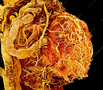 Bladder blood vessels, SEM