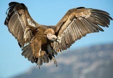 Griffon vulture flying, Spain