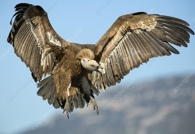 an introduction to the nature of vulture the untidiest bird Scott pakin's handy-dandy word-filtering program is a tool that helps with word  games such as jotto, hangman, and jumble, in which one needs to identify a.