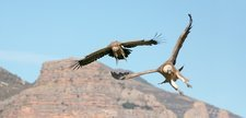 Griffon vultures flying, Spain