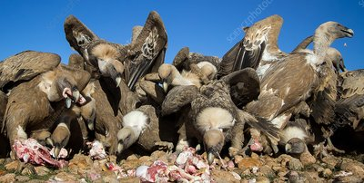 Griffon vultures feeding, Spain