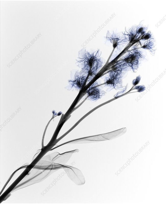 Blue flowers, X-ray