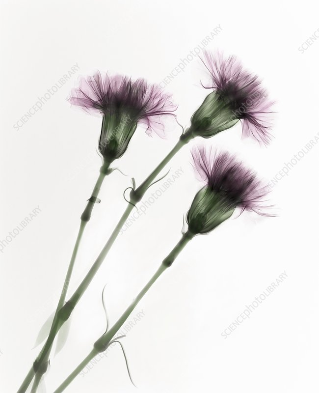 Carnations (Dianthus sp.), X-ray