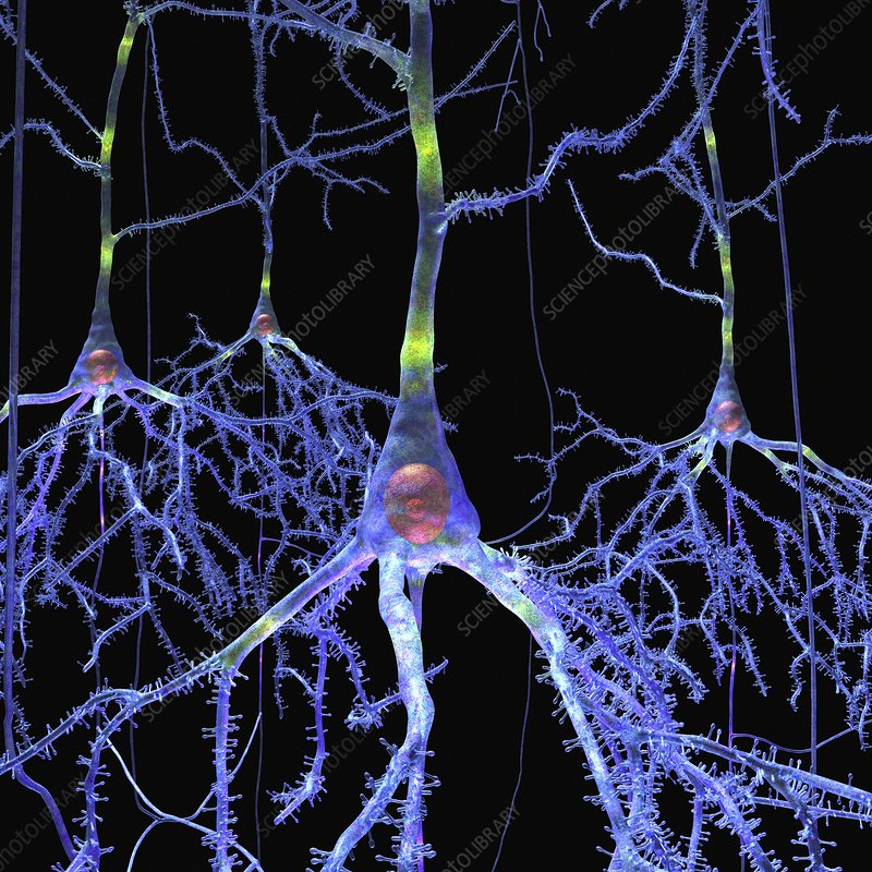 Pyramidal cells in the brain, artwork