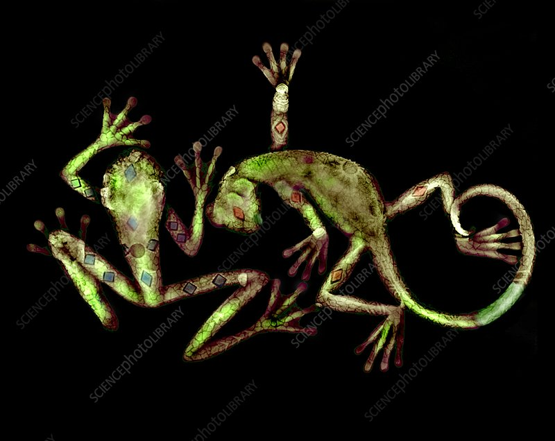 Lizard and frog, X-ray