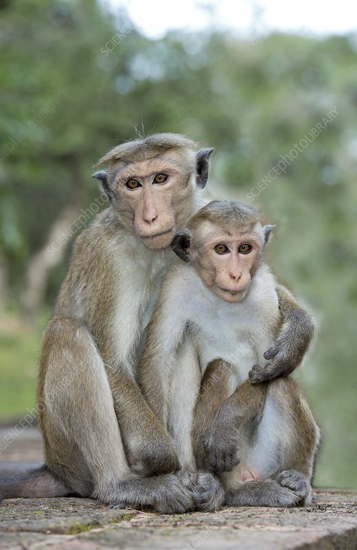 Toque macaques embracing