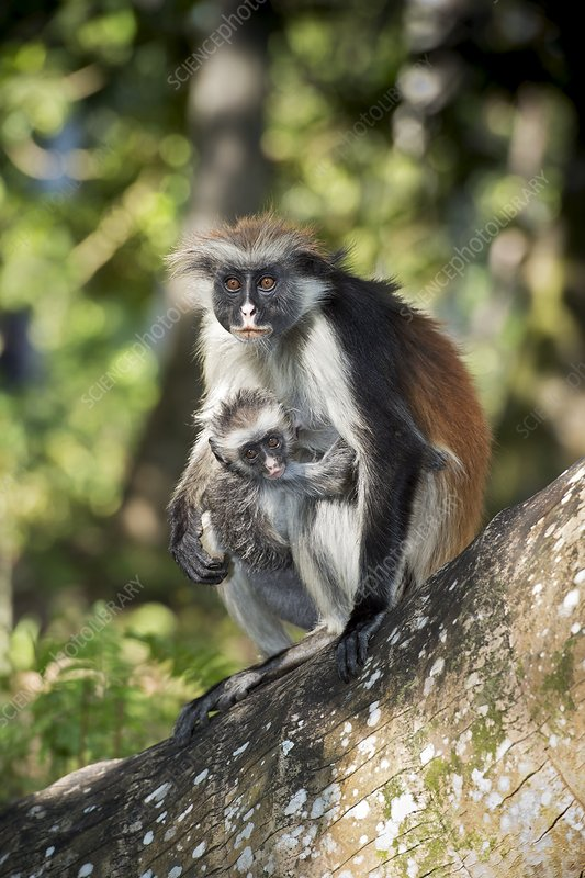 Female and infant Zanzibar Red Colobus