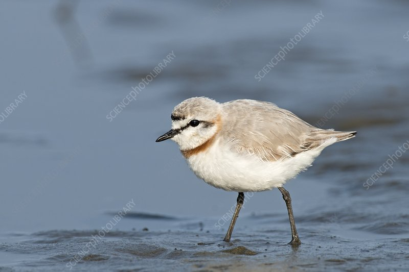 Chestnut-banded Plover on mud flats
