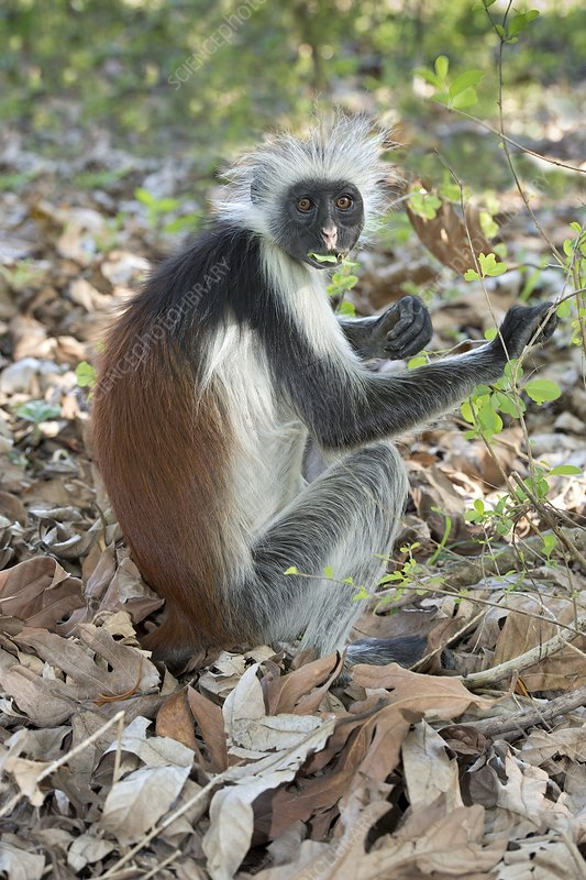 Zanzibar Red Colobus feeding on leaves