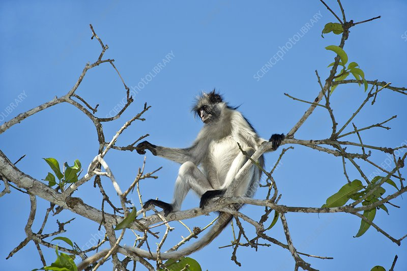 Zanzibar Red Colobus Monkey in a tree