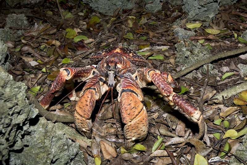 Coconut Crab with red brown morphotype