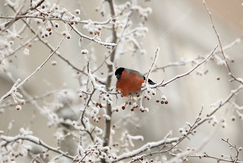 A bullfinch in a snow-covered tree