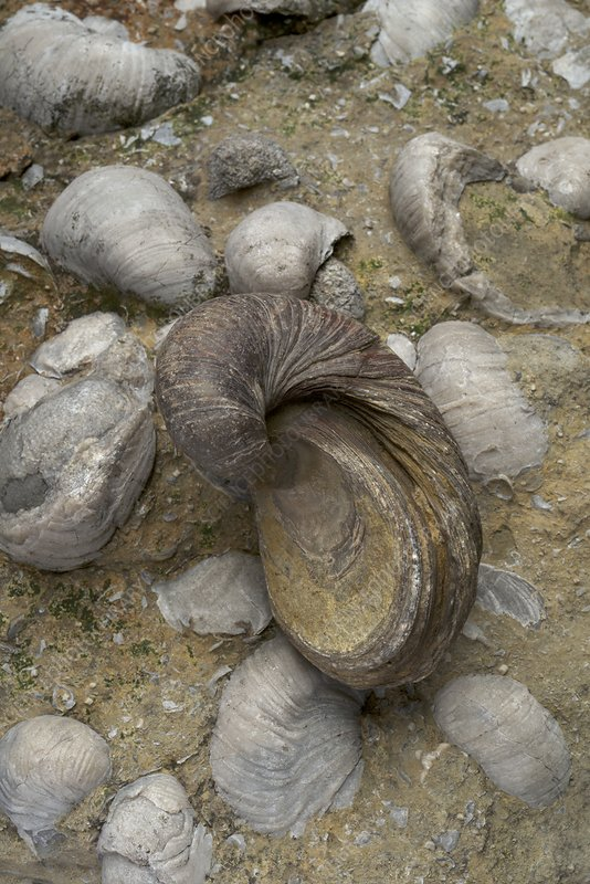 Fossilised Jurassic oyster bed