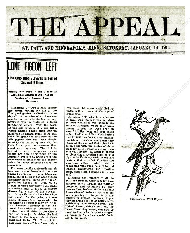 Passenger pigeon newspaper article, 1911