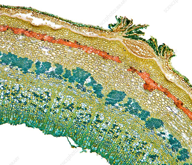 Lentil plant stem, light micrograph