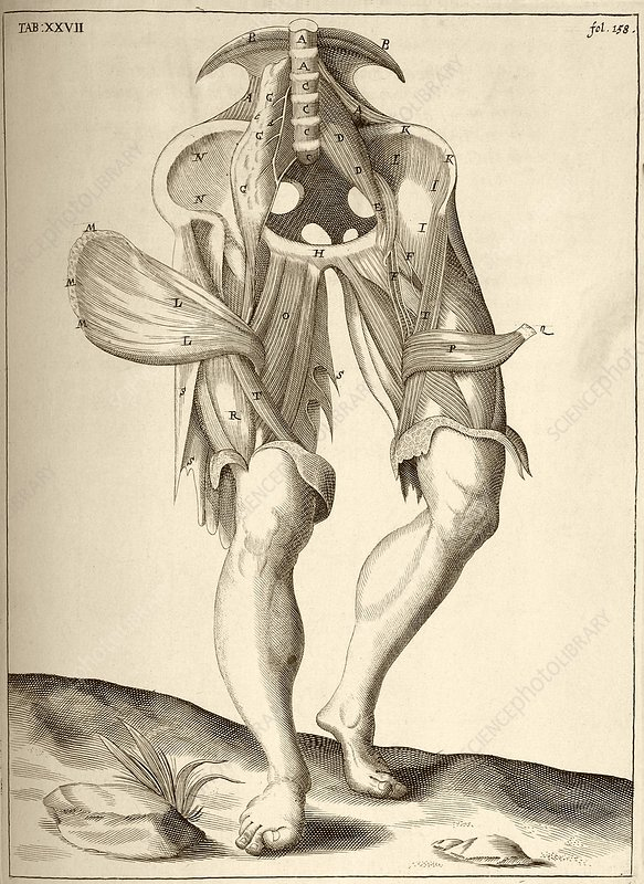 Thigh anatomy, 17th century artwork