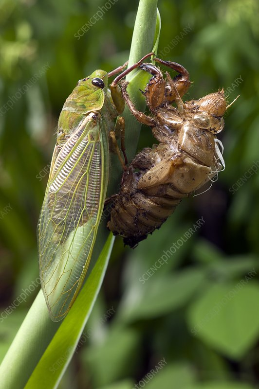 Newly emerged Green Grocer Cicada