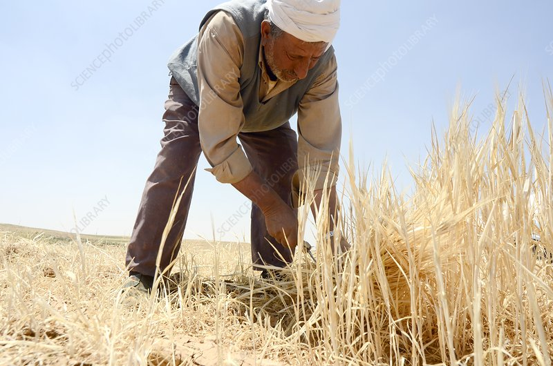 Manual wheat harvesting