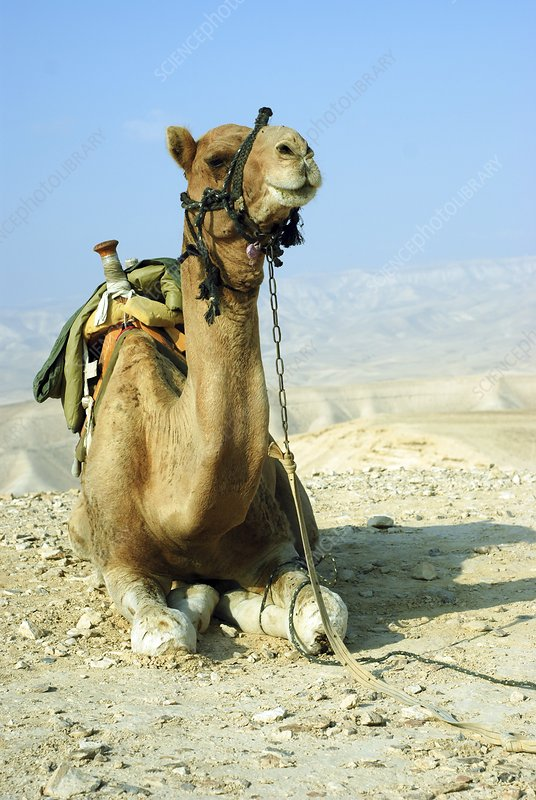 Closeup of a camel