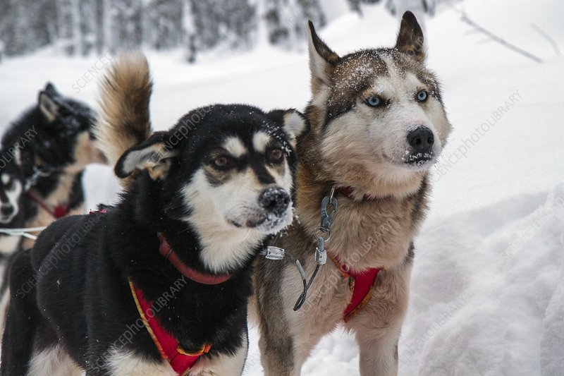 Husky dogs pull a sledge