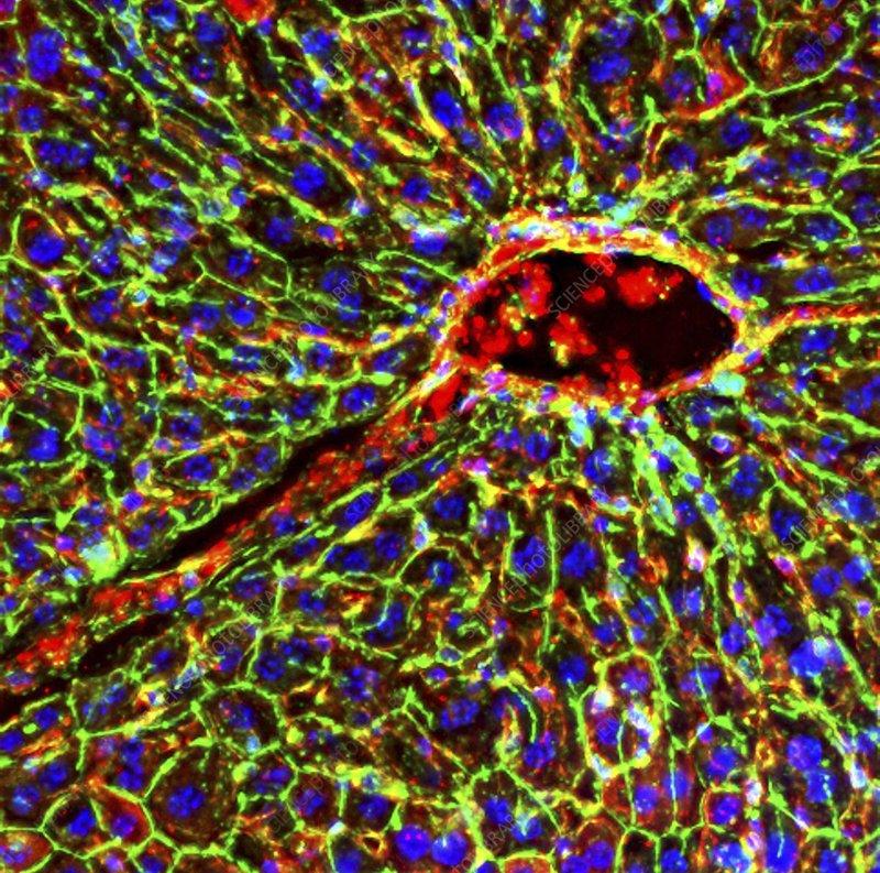 Kidney arteriole, fluorescence micrograph