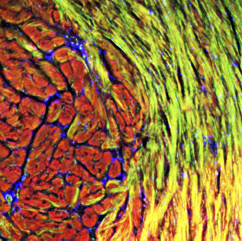 Cardiac muscle, fluorescence micrograph