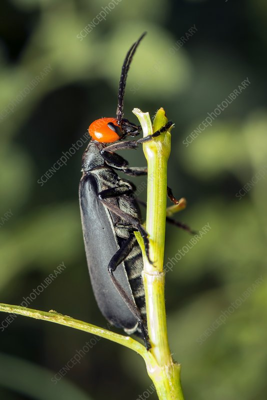 Bean blister beetle