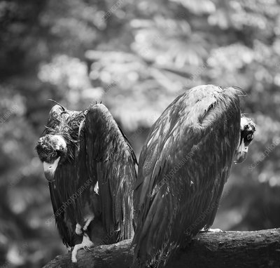 White-backed vultures in the rain