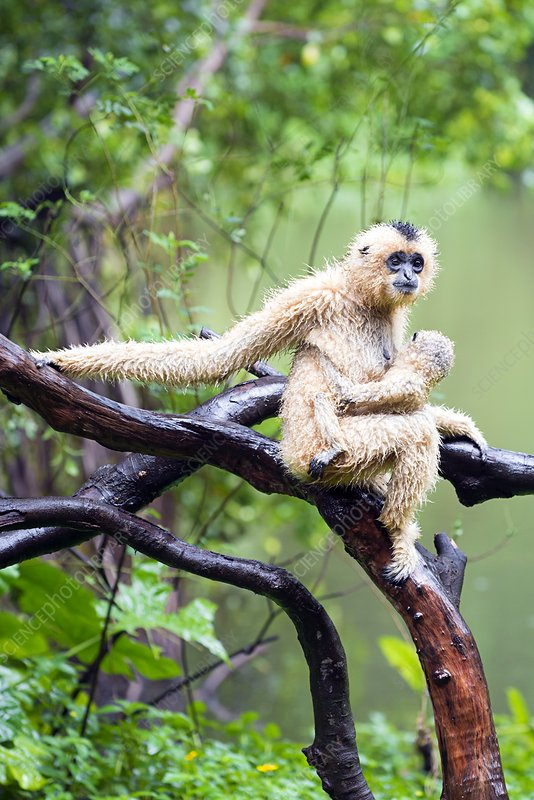Northern white-cheeked gibbons