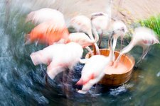 Flamingos feeding