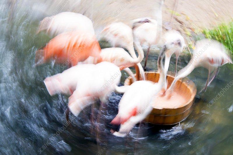 Flamingos feeding