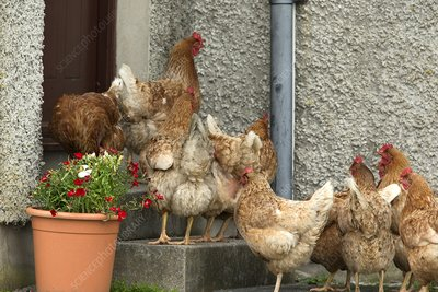 Domestic chickens on doorstep