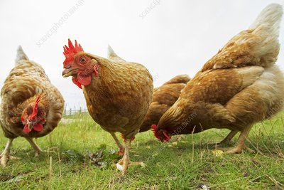 Domestic chickens foraging
