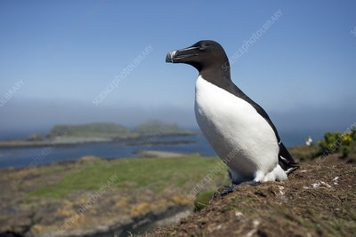 Razorbill on a coastal ledge