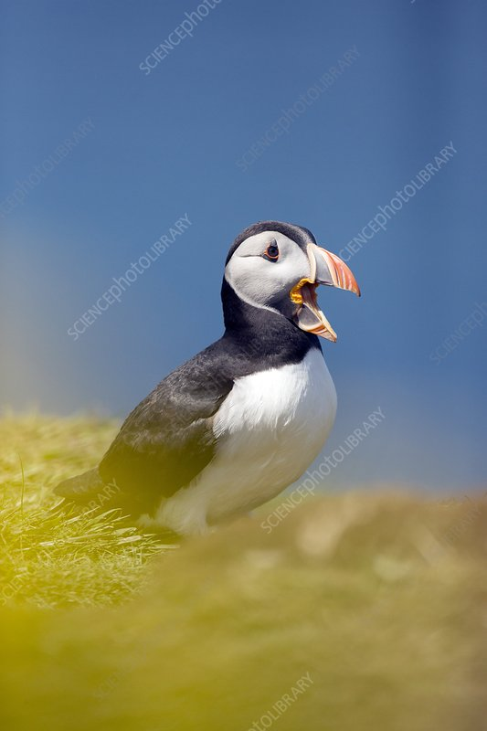 Puffin calling