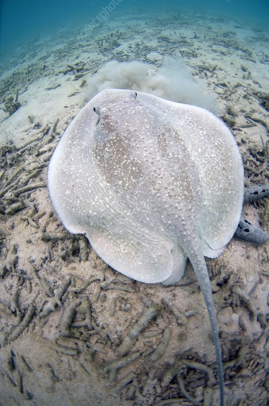 Porcupine ray on coral rubble