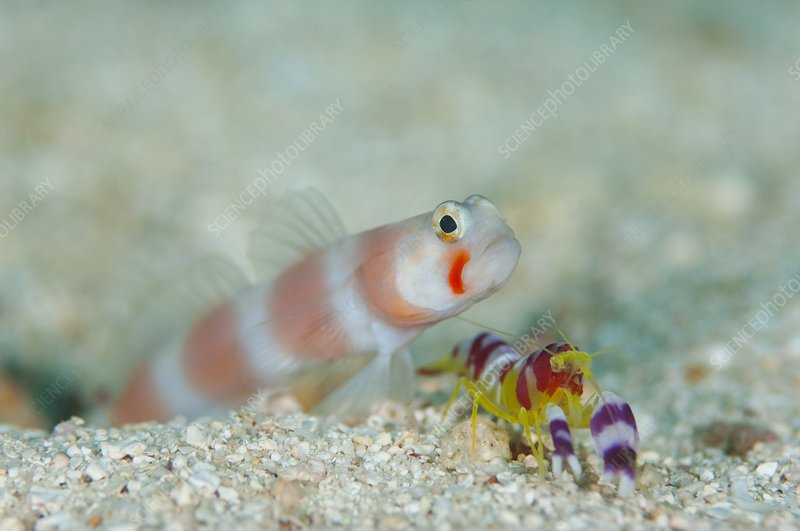 Shrimpgoby with commensal shrimp