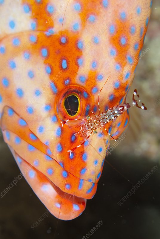 Coral gouper with cleaner shrimp