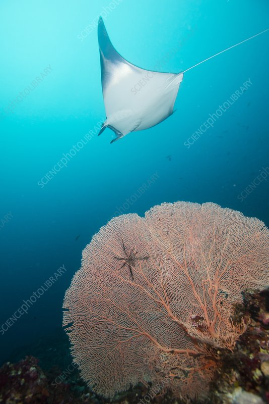 Devil ray behind sea fan