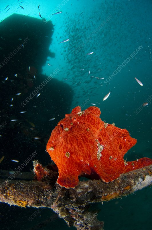 Giant frogfish waiting to ambush prey