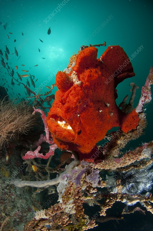 Giant frogfish sat on reef